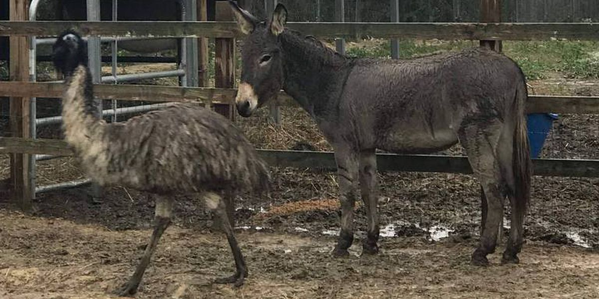 'Walking Dead' actor adopts Jack & Diane - the donkey and emu that can't be separated