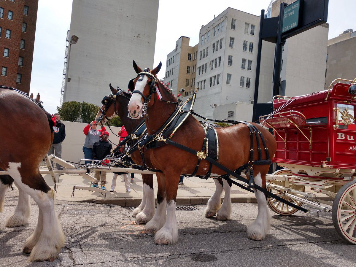 Famous Budweiser Clydesdales will kick off St. Pat's in Five Points