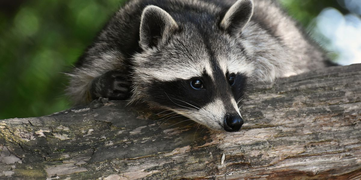 DHEC: 7 pets in Lexington Co. exposed to rabies after encounter with rabid raccoon