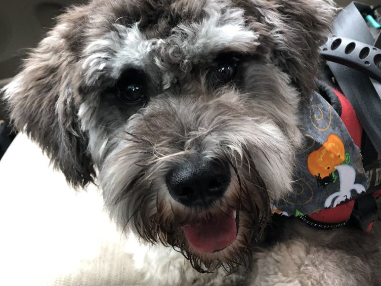 Therapy dog from Sumter middle school diagnosed with tumor gets surgery